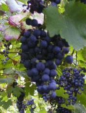 raisins_rouge